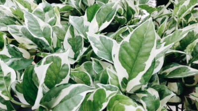 Are pearls and jade pothos toxic to cats?
