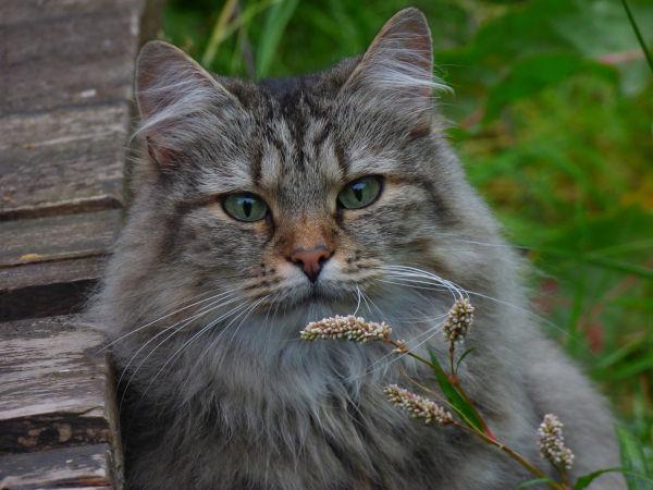 Norwegian Forest Cat vs Maine Coon vs Siberian.