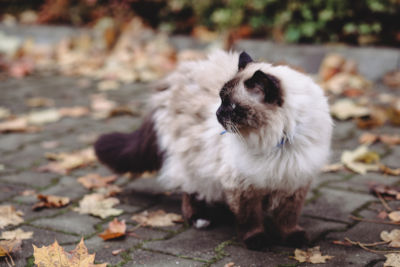 Can Birman cats go outside?