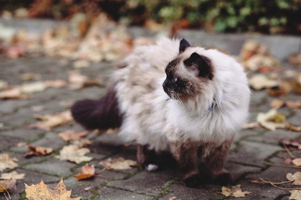 Can Birman cats go outside?