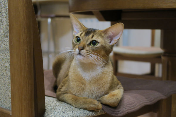 Can Abyssinian cats be left alone?