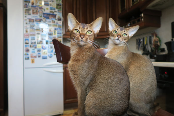 Two Abyssinian cats together.