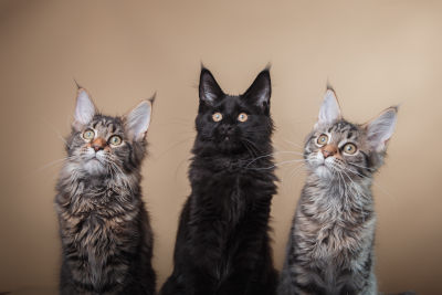 can maine coon be black