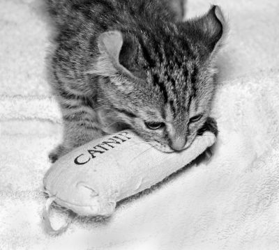 how often can cats have catnip