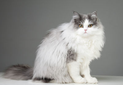 remove matted hair persian cat