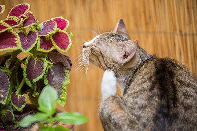 how to get flea dirt off cat
