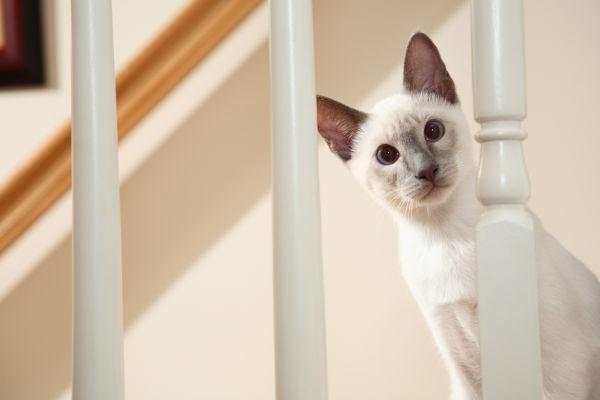 Curious Siamese Kitten near railing