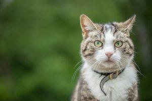 cat takes off breakaway collar