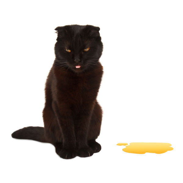 British cat pee on the floor.