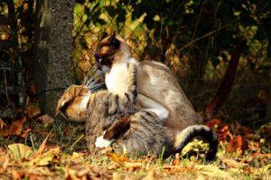 Do female cats hump cat