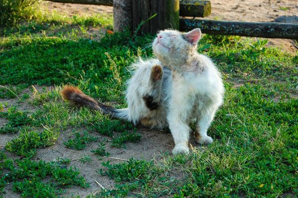 Cat scratching off fleas & flea dirt