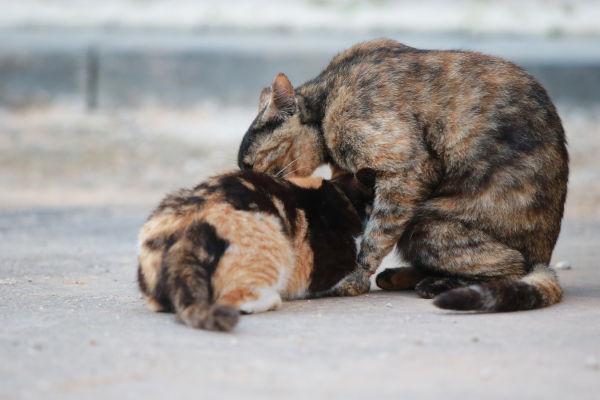 Why do male cats bite female cats necks?