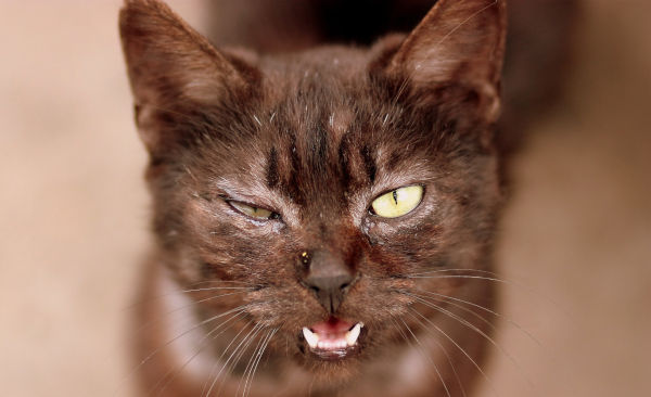 Which cat breed is the meanest?