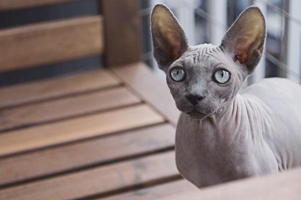Are Sphynx cats hypoallergenic?