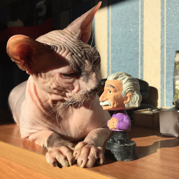 Why are Sphynx cats so affectionate?