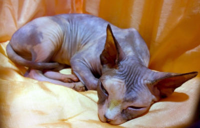 Do hairless cats have dander?
