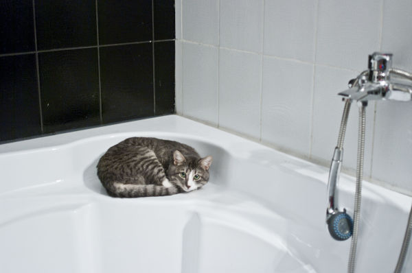 Why do cats play in the toilet?