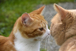What does it mean when a cat touches his nose to yours?