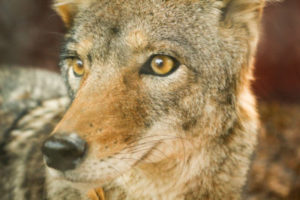 Do Coyote eat cats?
