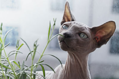 How much are hairless cats?