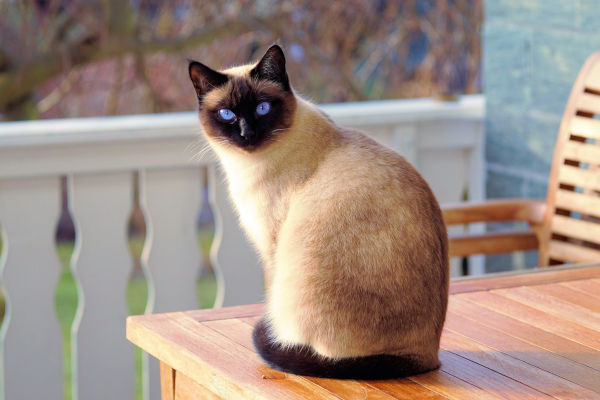 Do siamese cats shed?