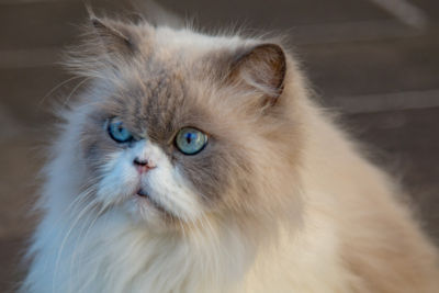 How Do You Clean Poop Out Of a Long Hair Cat's Fur?