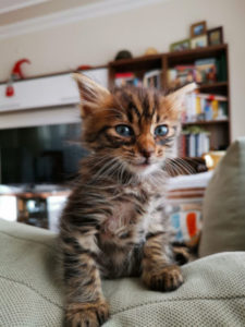 How long should I keep my kitten in one room?