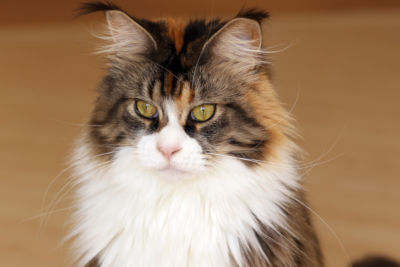 When will my Maine Coon get fluffy?