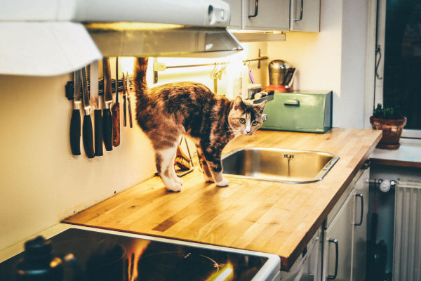 Do Maine Coons jump on counters?