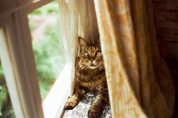 Will Maine Coons run away?