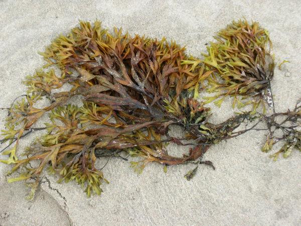 Can cats eat Irish Sea Moss?