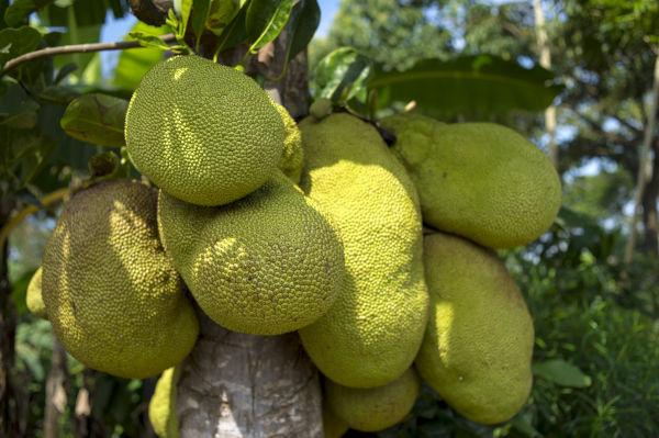 A wild Jackfruit.