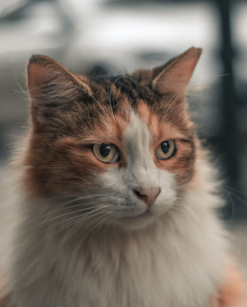 Can calico cats be long haired?