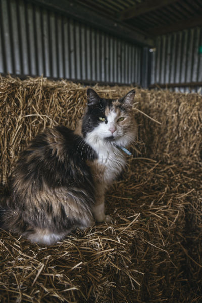 Long-haired calico cat in hay.