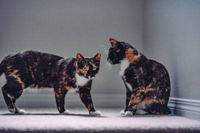 Will 2 calico cats get along?