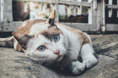 Can calico cats have blue eyes?