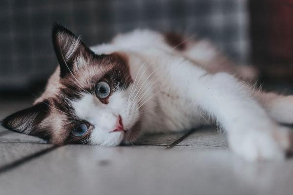 Blue eyed calico cat lying down.