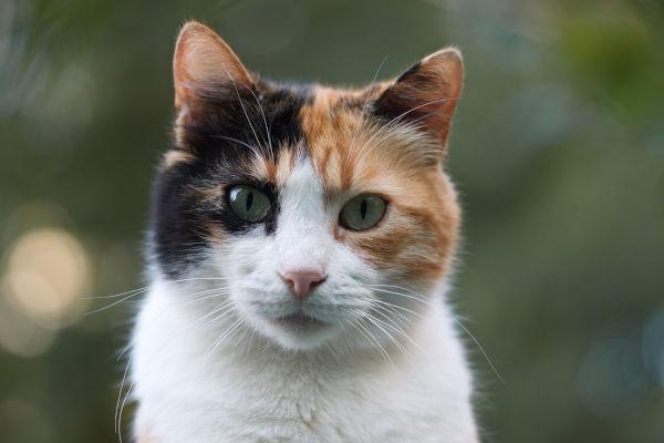 Do calico cats get fleas?