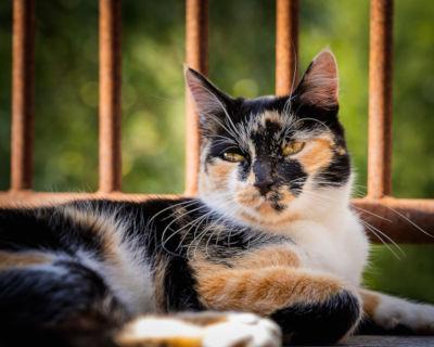 Do calico cats go into heat?