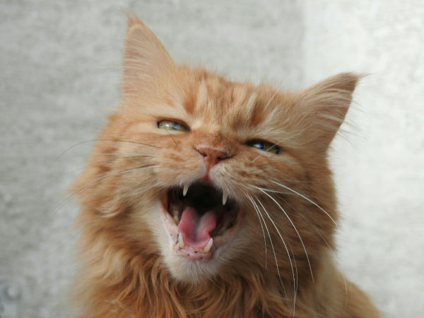 A cat meowing.