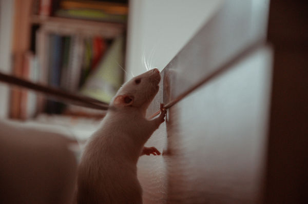 A mouse in a home.