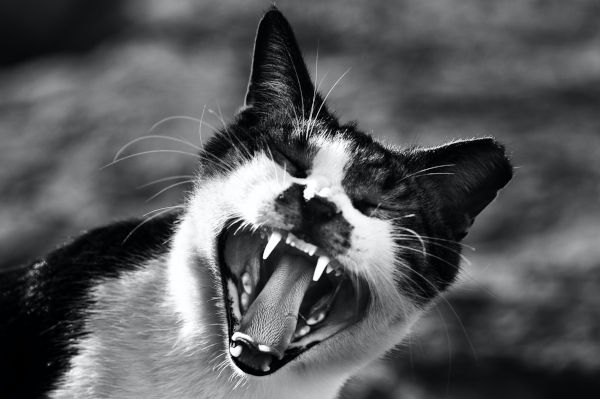 Cat looking crazy with mouth open.