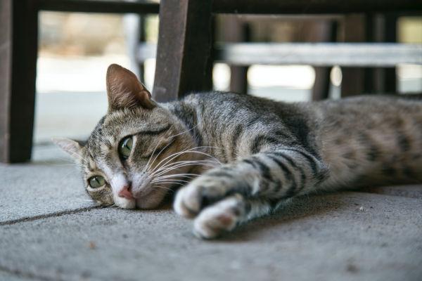A sad-looking cat lying down.