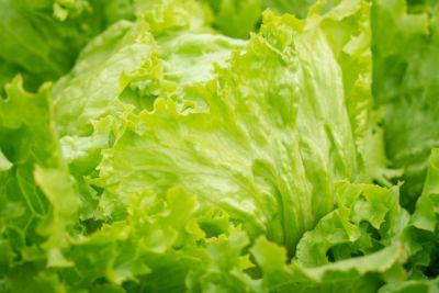 Can cats eat iceberg lettuce?
