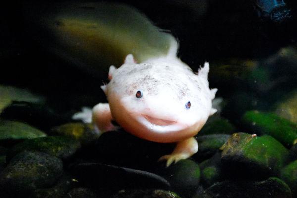 An Axolotl in a tank.