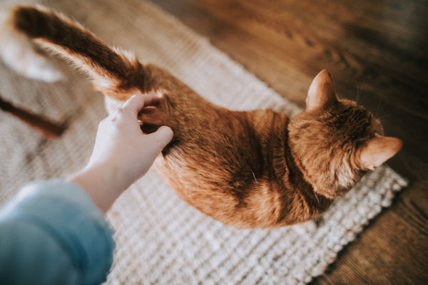 A cat with its tail in the air being stroked.
