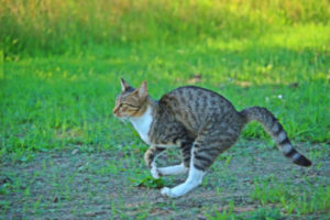 Why does my cat gallop?