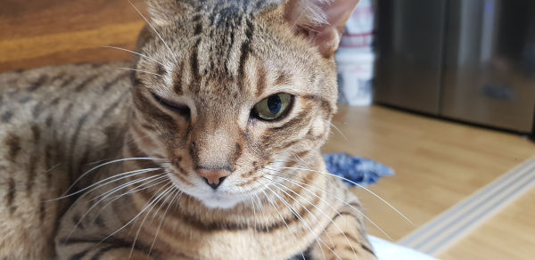 A striped cat with one eye closed.