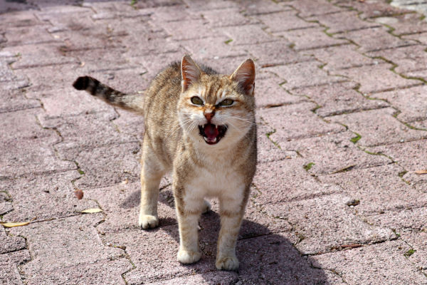 Why does my cat angry meow?