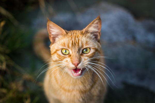 Why does my cat howl in the morning?